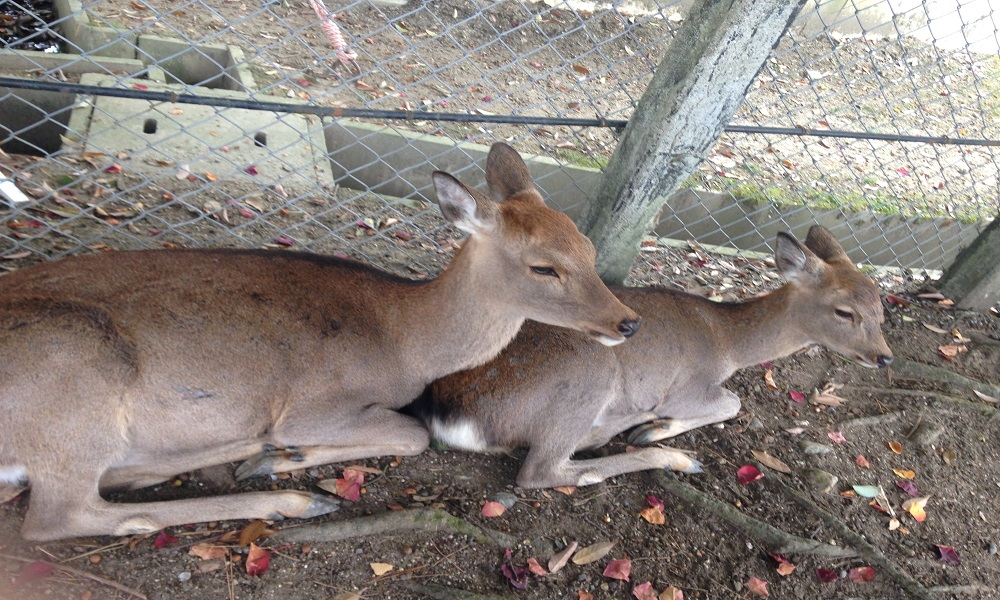 Nara Park is near Todaiji, there are many deers and you can feed them with purchased crackers (Shika Senbei)